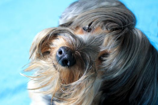 Photo free Yorkshire terrier, adorable, havana bichon