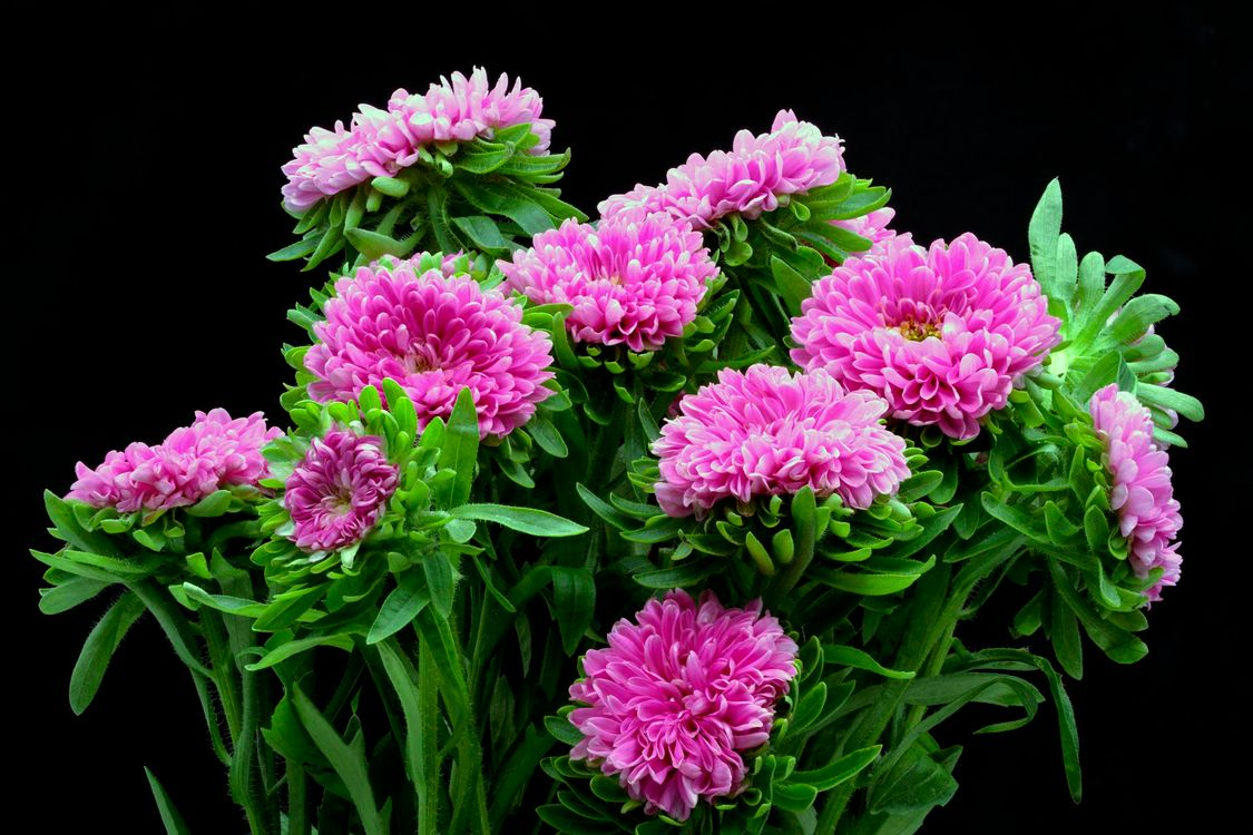 красивые хризантемы · бесплатное фото