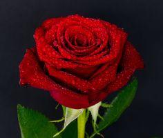 Бесплатные фото роза,капли,бутон,красный,rose,drops,bud