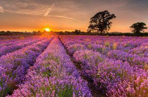Бесплатные фото закат, поле, лаванда, дерево, пейзаж