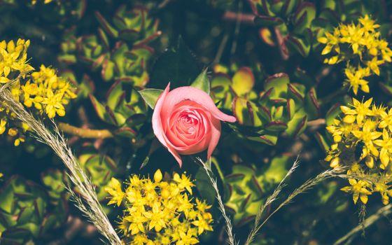 Фото бесплатно розовая роза, листья, лепестки