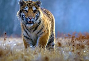 Заставки тигр, тигры, хищник