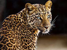 Заставки леопард, красивые глаза, большие кошки