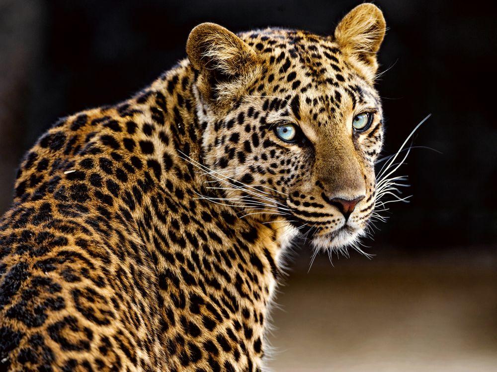 Фото бесплатно леопард, красивые глаза, большие кошки - на рабочий стол