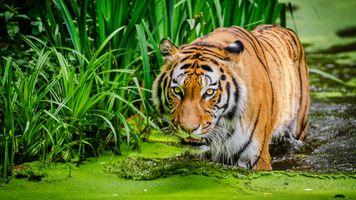 Заставки сибирский тигр, хищник, большие кошки