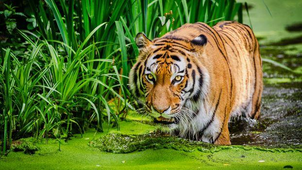 Фото бесплатно сибирский тигр, хищник, большие кошки