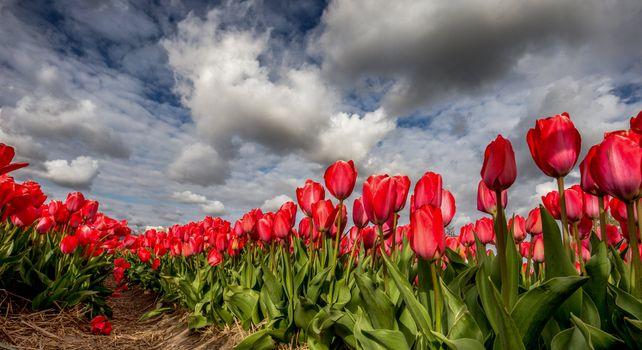 Photo free flower, tulip, fields