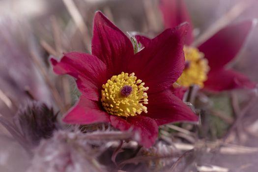 Photo free flowers, pulsatilla, closeup