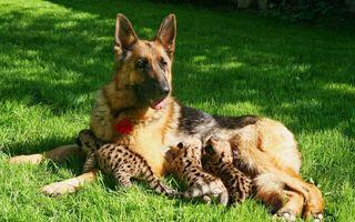 Фото бесплатно трава, собака, лежат