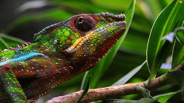 Заставки хамелеон, зеленый, ящерица
