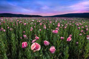 Бесплатные фото закат, поле, цветы, маки