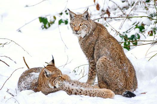 Фото бесплатно кошка, снег, дикая природа