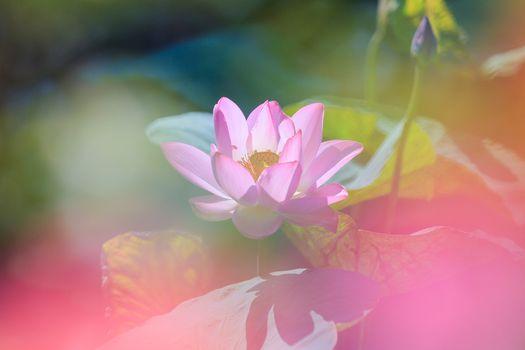 Фото бесплатно лотосы, цветы, красивый цветок
