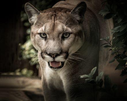 Фото бесплатно пума, хищник, большая кошка