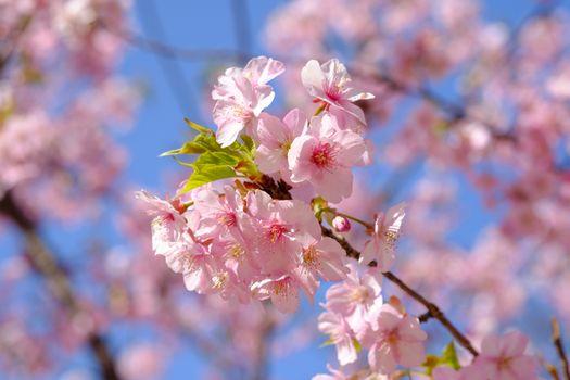 Photo free flowering branch, rose petals, tree