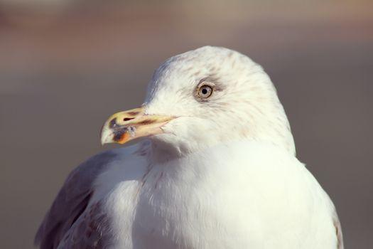 Фото бесплатно чайка, птицы, близко