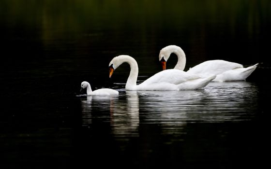 Photo free swans, family, water