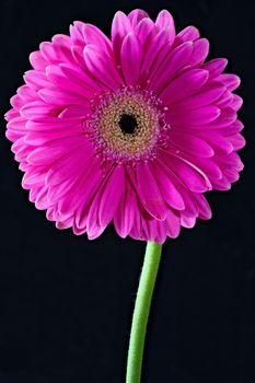 Photo free flower, gerbera, pink color