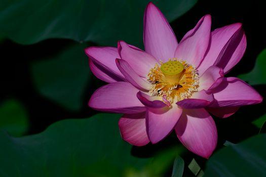 Фото бесплатно лотос, водная красота, цветы
