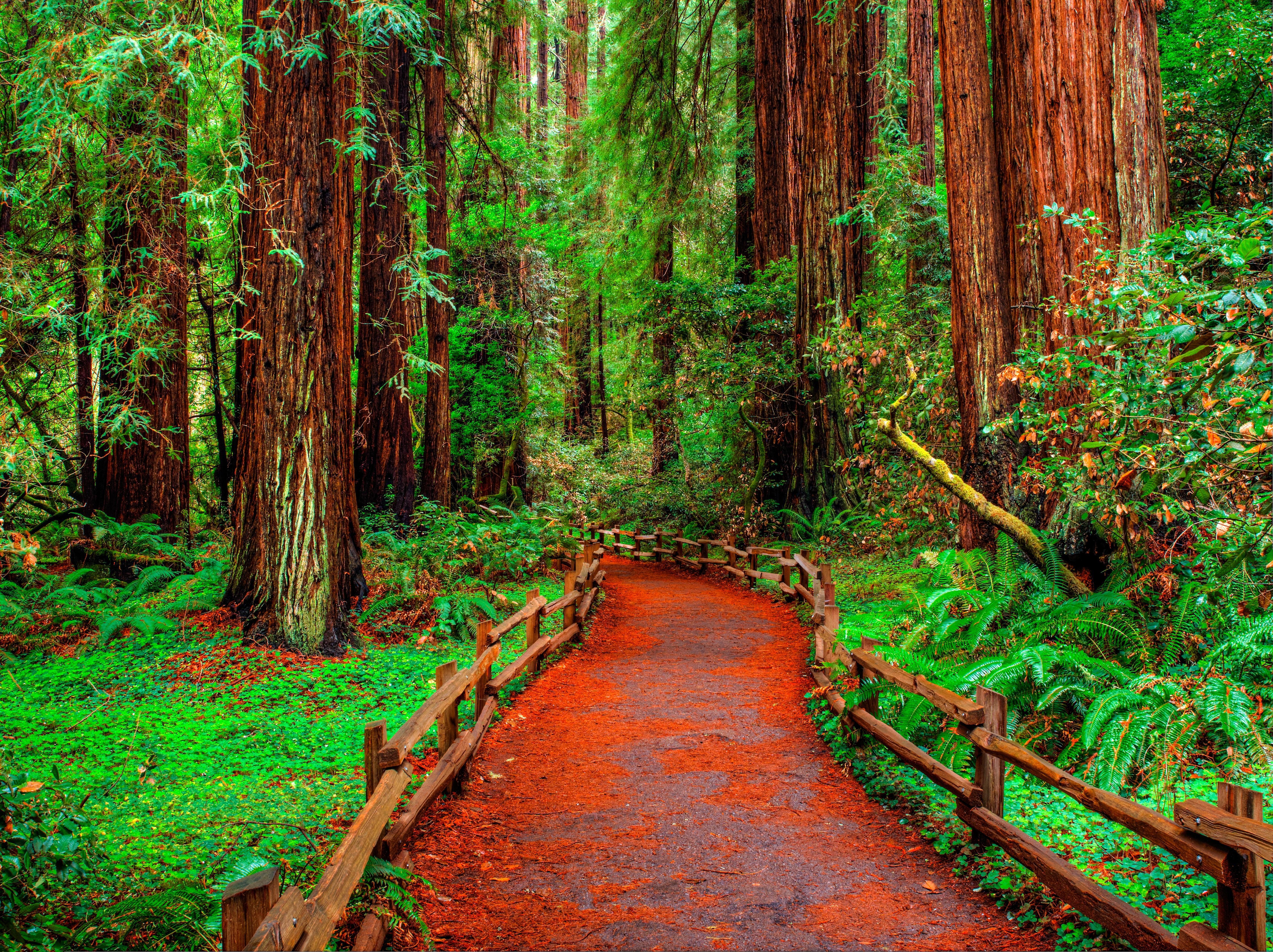 Обои Муир Вудс, дорожка, лес, деревья