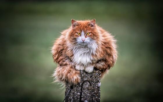 Photo free cat, red-head, furry
