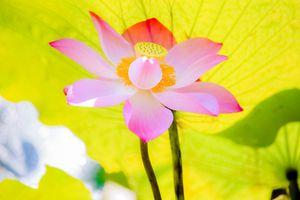 Фото бесплатно красивый цветок, цветы, пруд