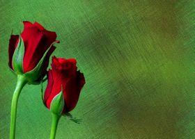 розы на зелёном фоне