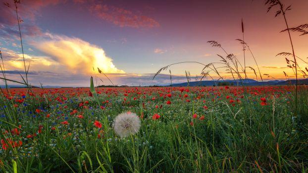 Бесплатные фото закат солнца,поле,полевые цветы,цветы,флора,маки,растения,природа,пейзаж