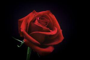 Фото бесплатно роза, бутон, красный