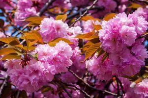 Фон сакура · бесплатное фото