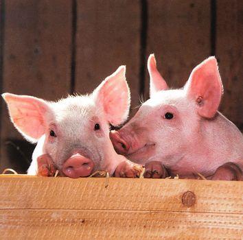 Фото бесплатно домашняя свинья, фауна, малыши