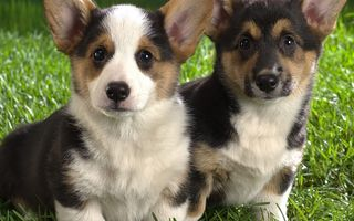 Фото бесплатно собака, пара, щенки