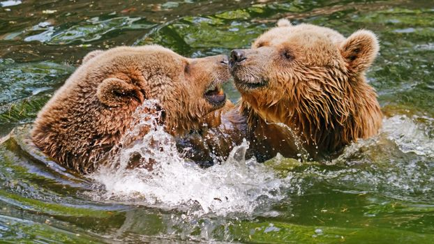 Photo free grizzly bear, bears, fight