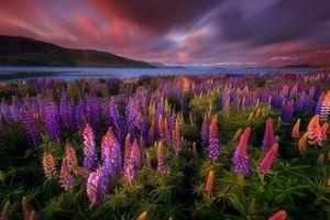 Бесплатные фото закат,поле,озеро,горы,цветы,люпин,пейзаж