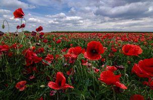 Photo free field, poppies, flowers