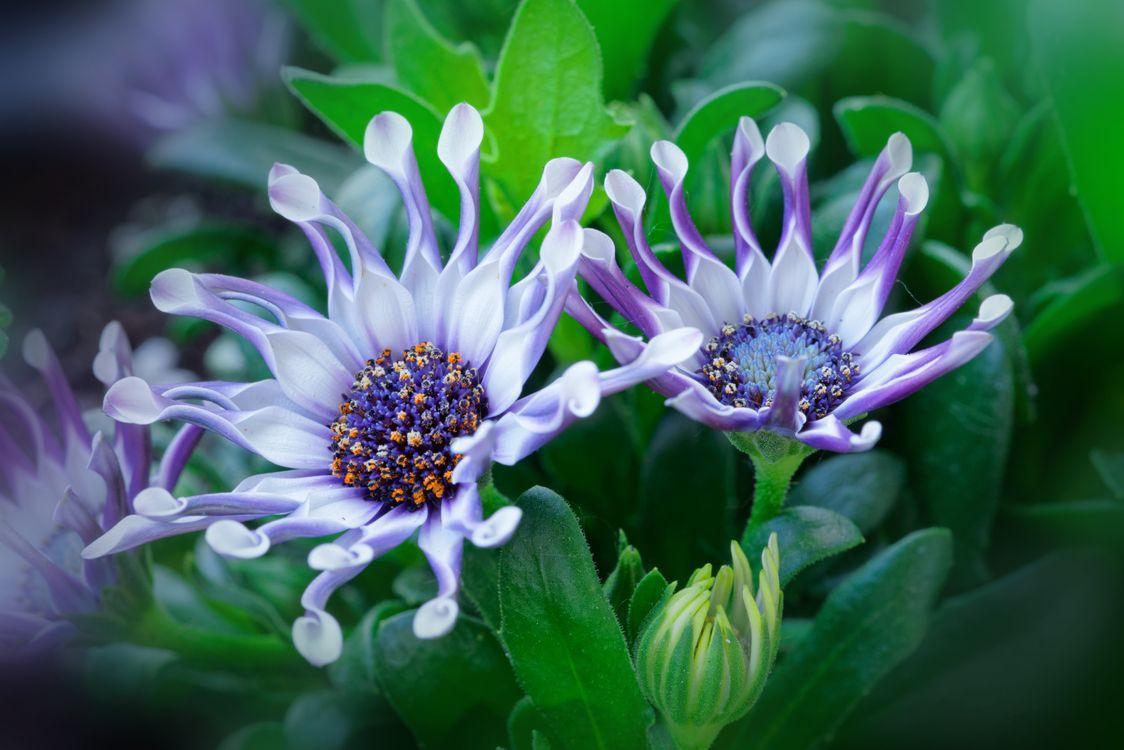 Фото бесплатно Африканская ромашка, Красивая голубоглазая ромашка, Osteospermum, цветы, цветок, флора, макро, цветы - скачать на рабочий стол