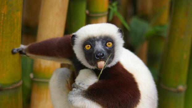 Photo free primacy, fauna, lemur
