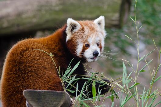 Photo free red panda, plants, fluffy