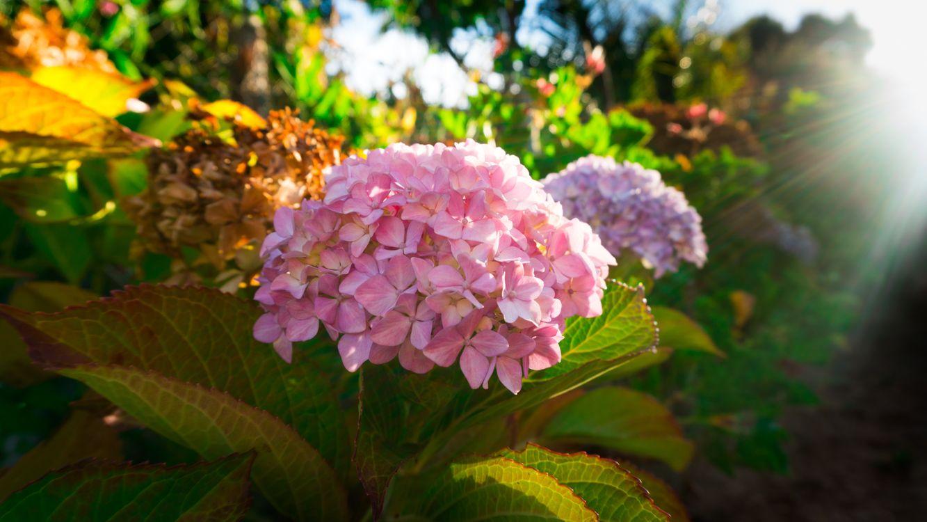 Обои розовые цветы, солнце, лепестки картинки на телефон