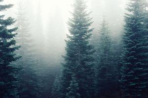 Ёлки в тумане