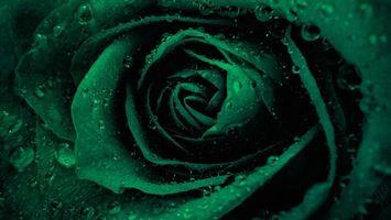 Фото бесплатно tsvetok, roza, kapli, rosa, voda, lepestki, buton