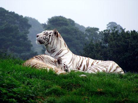 Фото бесплатно белый тигр, лес, трава
