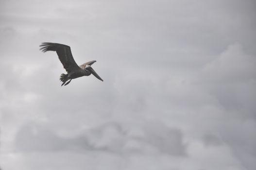 Заставки Пеликан, полет, длинный клюв