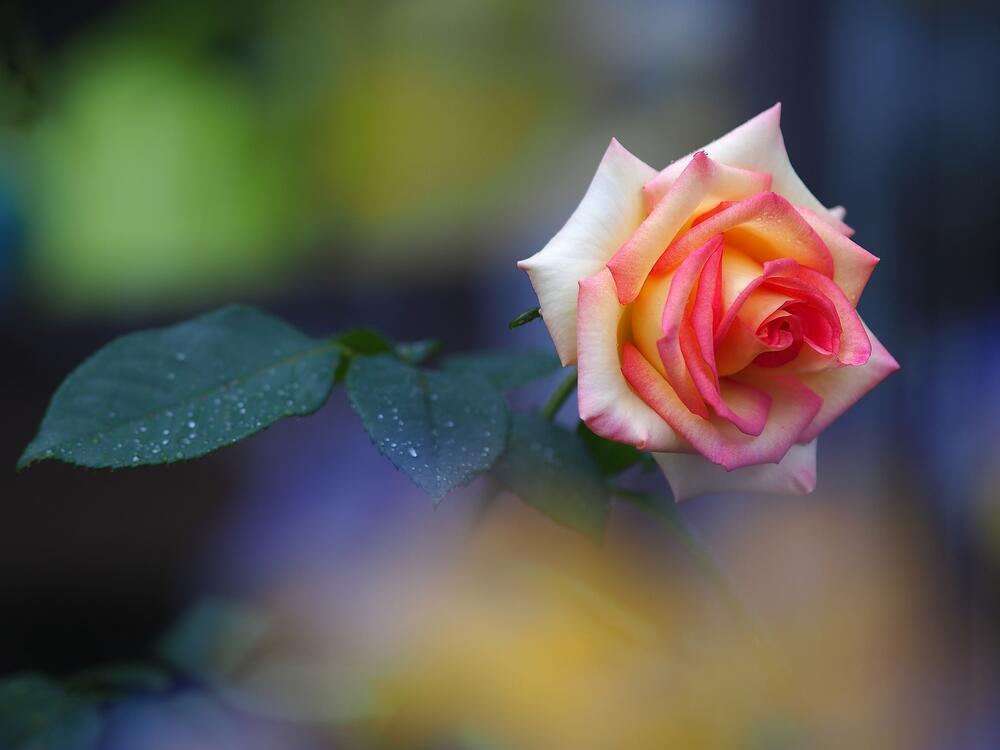 Фото розовый листья водяные пузыри - бесплатные картинки на Fonwall