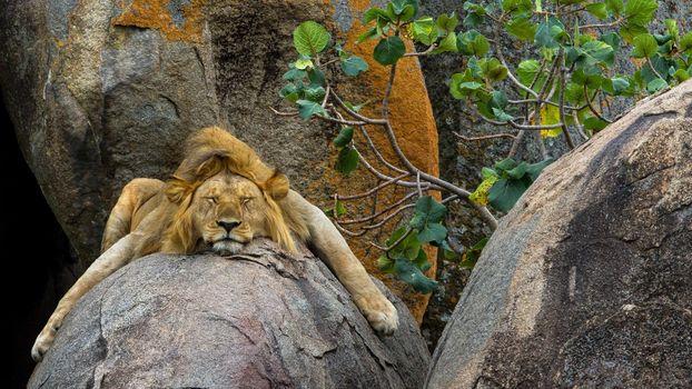 Лев заснул на скале