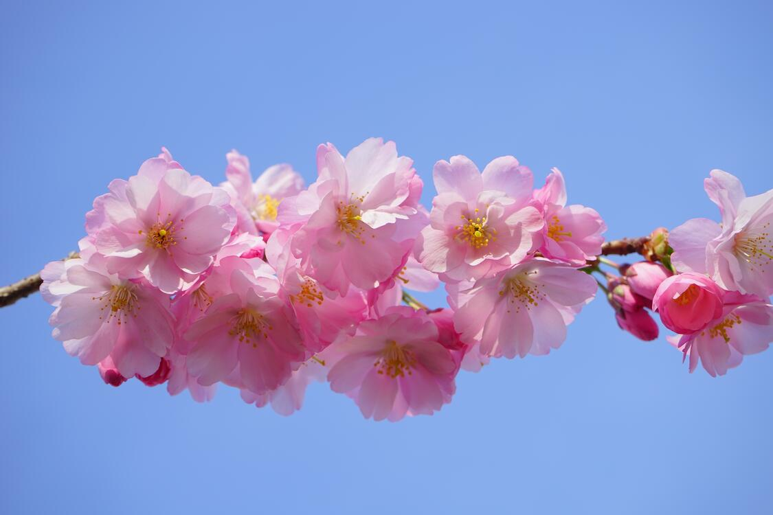 Фото японская цветущая вишня цветы растение - бесплатные картинки на Fonwall
