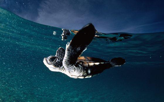 Фото бесплатно черепаха, море, плавать