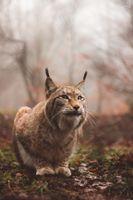 Бесплатные фото рысь,хищник,большая кошка,сидит,lynx,predator,large cat