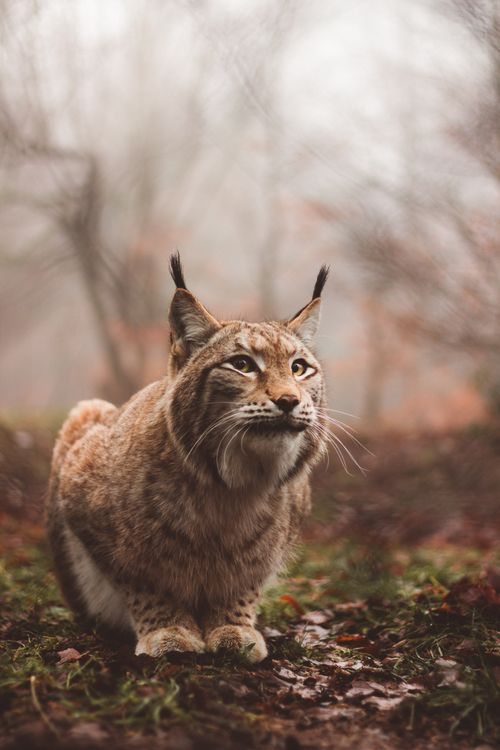Фото бесплатно рысь, хищник, большая кошка - на рабочий стол