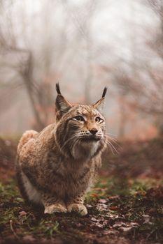 Бесплатные фото рысь,хищник,большая кошка,сидит,lynx,predator,large cat,sits